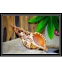 Coquillage CHARONIA TRITONIS 14/17cm