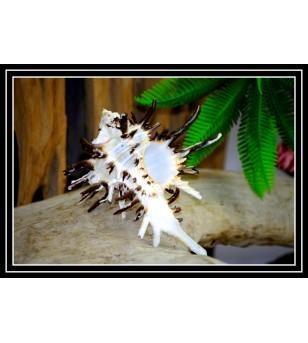 Coquillage  MUREX INDIVIA 11/15cm