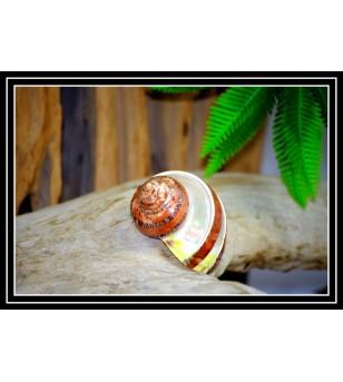 Coquillage TURBO PETHOLATUS BANDE NACREE 7/8cm
