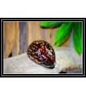 Coquillage CYPRAEA TIGRIS 9/10cm