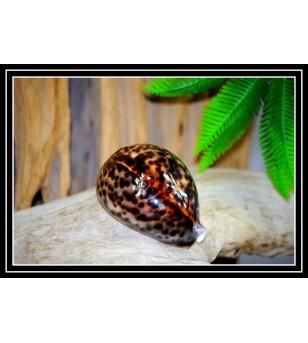 Coquillage CYPRAEA TIGRIS...