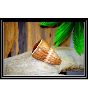 Coquillage CONUS FIGULINUS NOIR 6/7cm