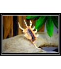Coquillage LAMBIS SCORPIO 11/13cm